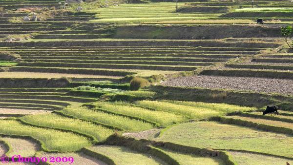 Bhoutan rizières