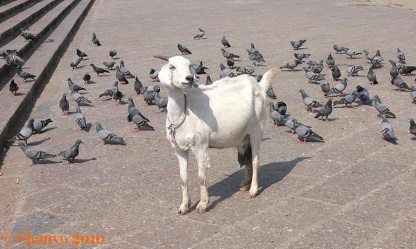 Chèvre Hyderabad