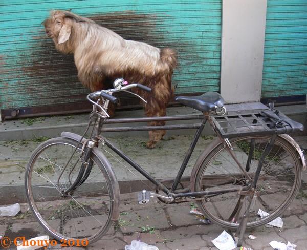 Chèvres Mumbai