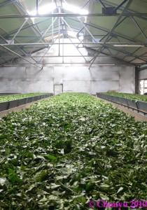Nilgiri Hills Fabrique de thé 2
