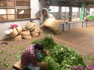 Nilgiri Hills Fabrique de thé