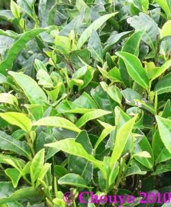 Nilgiri Hills Feuilles de thé