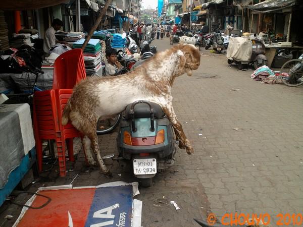 Chèvre Chor Bazaar