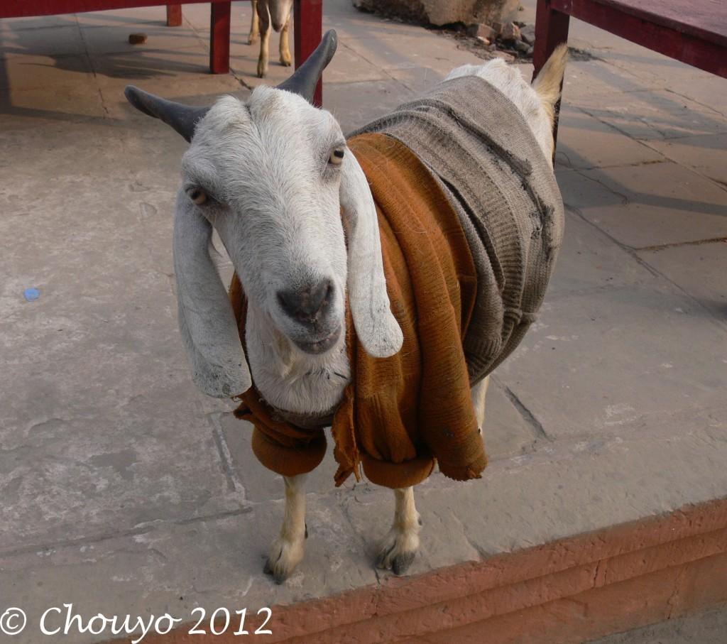 Bénarès Chèvre