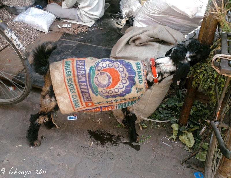 Bombay Chèvre habillée 2 blog