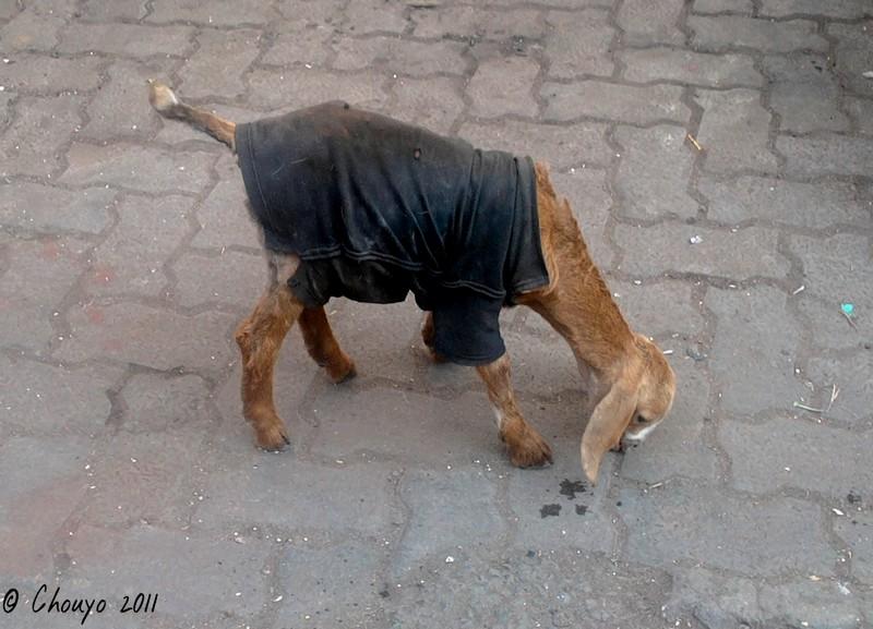 Bombay Chèvre habillée blog