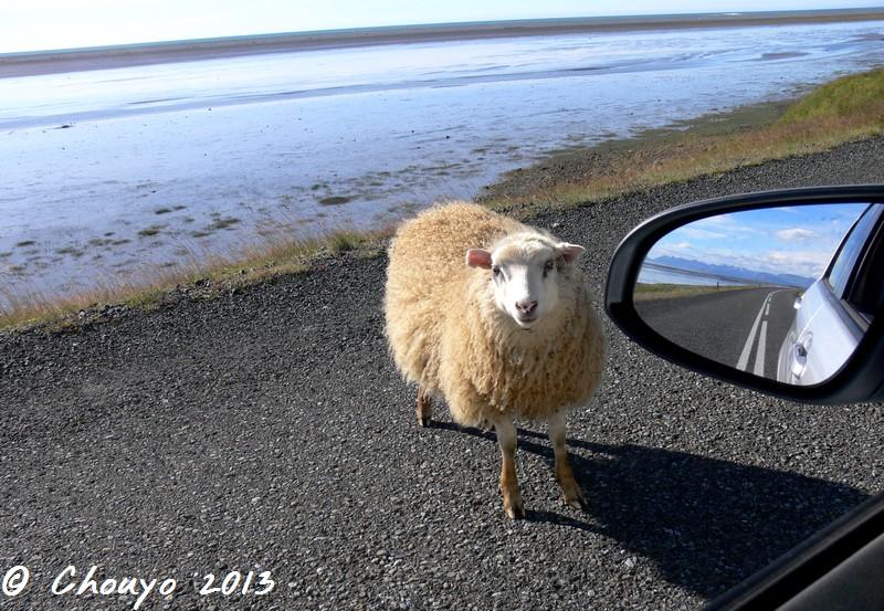 Islande Mouton sur la route
