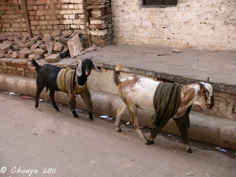 Bénarès Chèvres