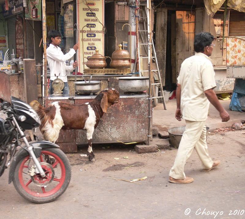 Calcutta Chèvre 2