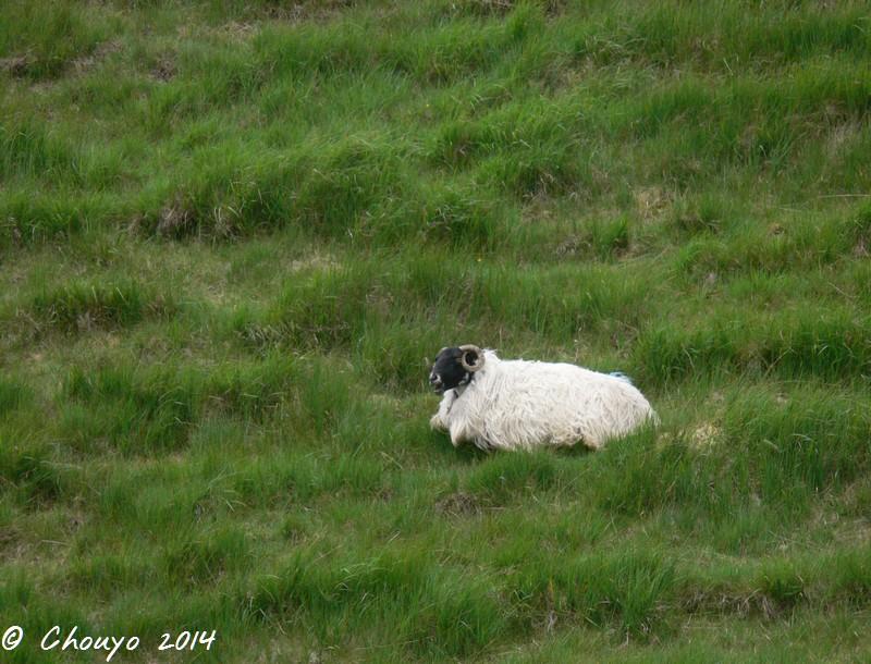 Ecosse Mouton