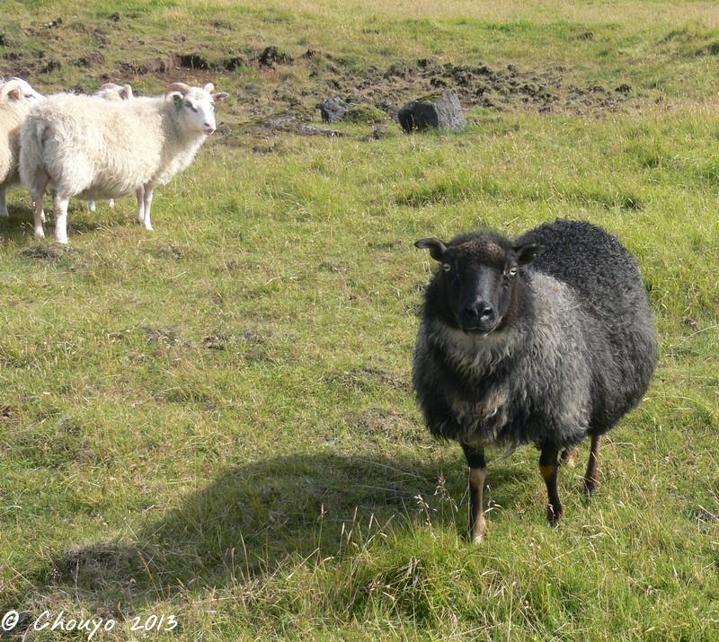 Islande Mouton 2