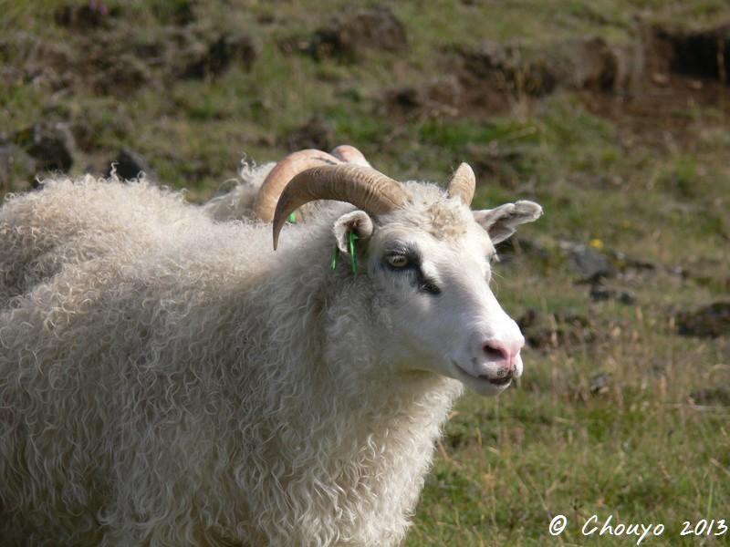 Islande Mouton 3