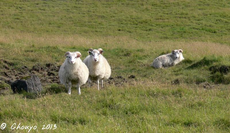 Islande Mouton 4