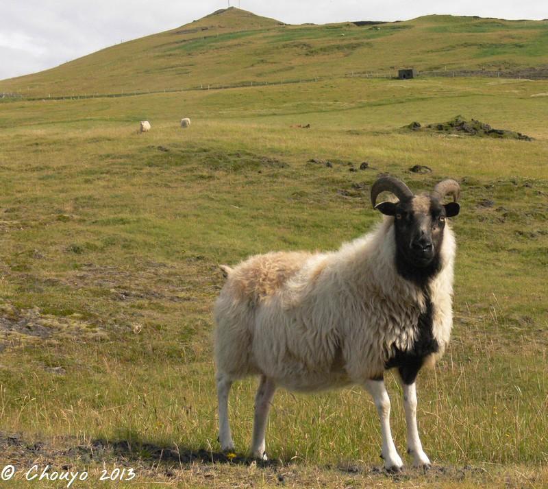 Islande Mouton