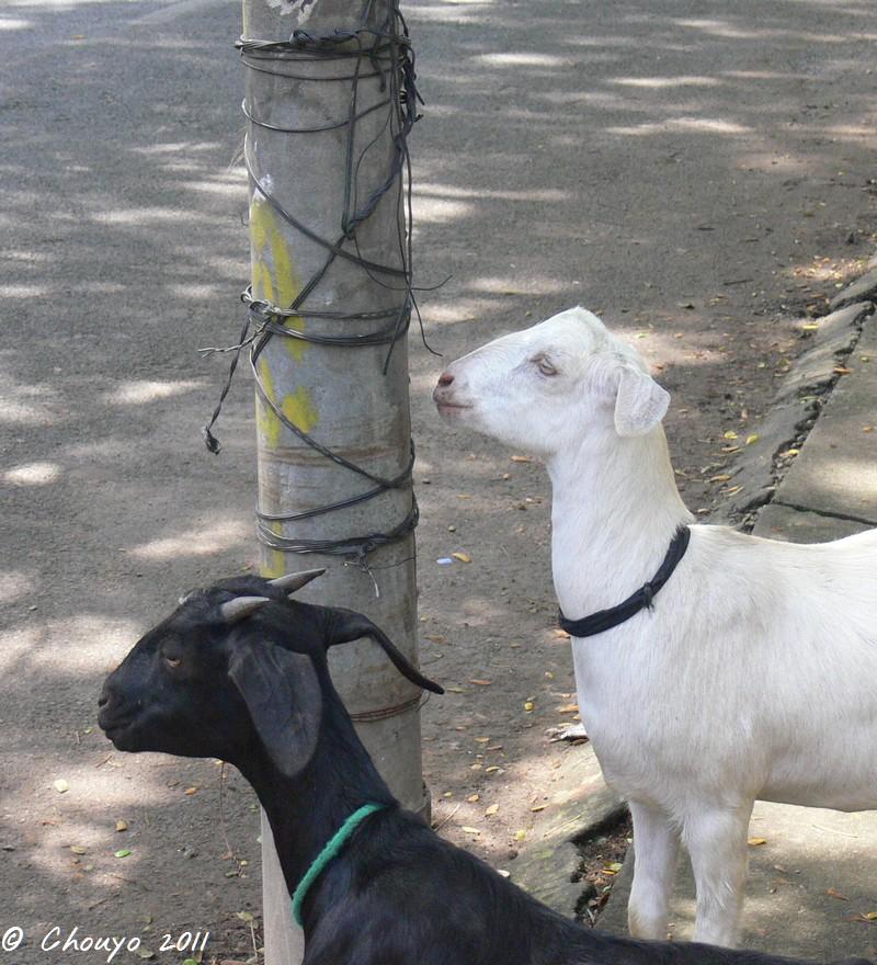 Kerala Chèvres