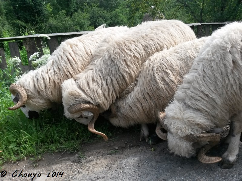 Roumanie Maramures Moutons